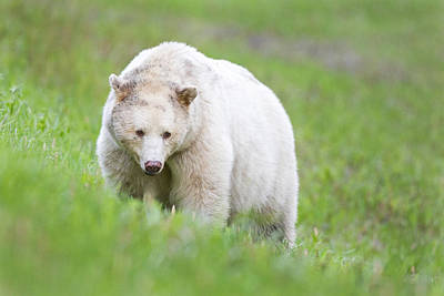Prince Rupert Photograph - Kermode Bear by Brandon Broderick