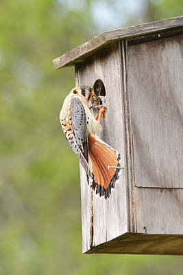Photograph - Kestrel Feeding Chick by Alan Lenk