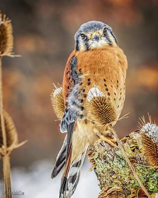 Falcon Photograph - Kestrel Nature Wear by LeeAnn McLaneGoetz McLaneGoetzStudioLLCcom