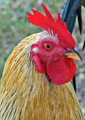 Photograph - Key West Chicken by Bob Slitzan