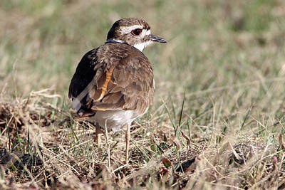 Photograph - Killdeer Calverton New York by Bob Savage