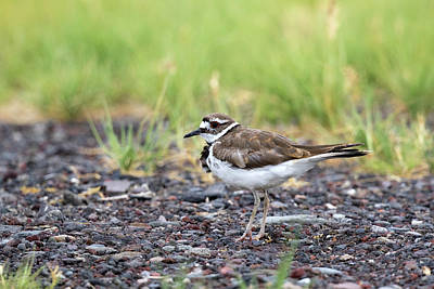 Photograph - Killdeer by Doug Lloyd