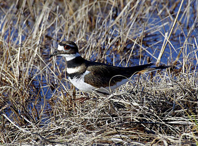 Photograph - Killdeer by Liz Masoner