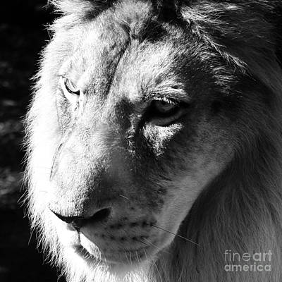 Photograph - King Of The Jungle Majestic Lion Head Face Eyes Square Macro by Shawn O'Brien