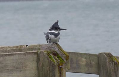 Photograph - Kingfisher In Bellingham by Karen Molenaar Terrell