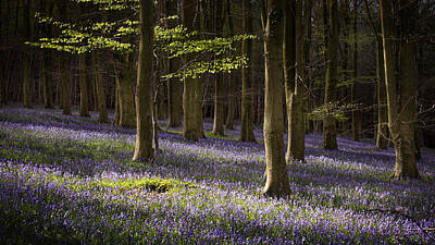 Landscape Photograph - Kingswood Bluebells by Ian Hufton