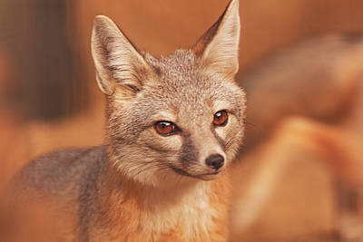 Photograph - Kit Fox  by Brian Cross