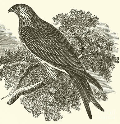 Hawk Drawing - Kite by English School