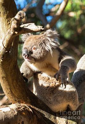 Photograph - Koala by Andrew Michael