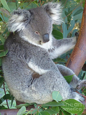 Photograph - Koala Bear  by Phil Banks