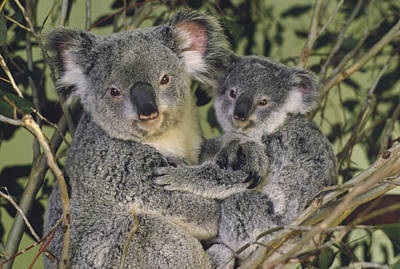 Koala Phascolarctos Cinereus Mother Art Print by Gerry Ellis