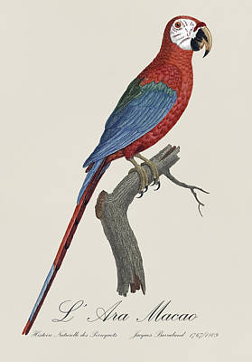 Amazon Parrot Painting - L' Ara Macao / Red And Green Macaw - Restored 19th Century Macaw Illustration By Jacques Barraband by Jose Elias - Sofia Pereira