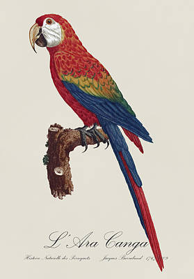 Amazon Jungle Painting - L' Ara Macao / Scarlet Macaw - Restored 19th Century Macaw Illustration By Jacques Barraband by Jose Elias - Sofia Pereira