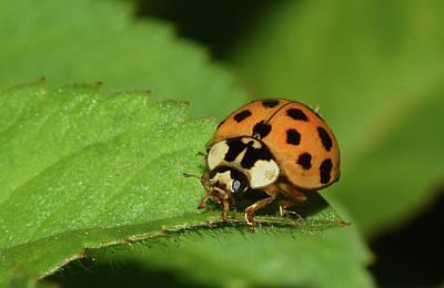 Photograph - Ladybug by Larah McElroy