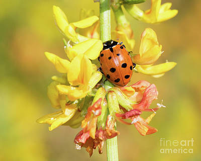 Photograph - Ladybug by Mimi Ditchie