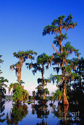 Lake Martin Cypress Swamp Art Print by Thomas R Fletcher