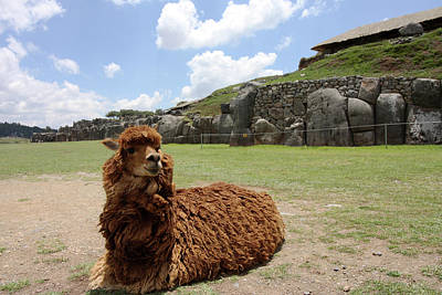 Photograph - Brown Lama At Sacsaywaman Ruin, Peru by Aidan Moran