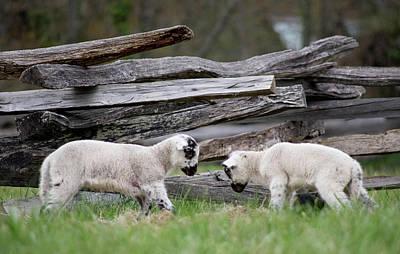 Photograph - Lambs Playing by Buddy Scott