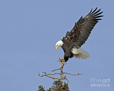 Eagle Photograph - Landing Eagle by Tim Grams