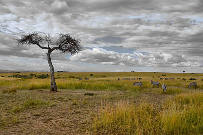 Photograph - Lonely Tree And Zebras by Balram Panikkaserry