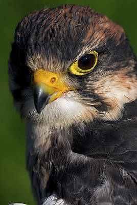 Photograph - Lanner Falcon by JT Lewis