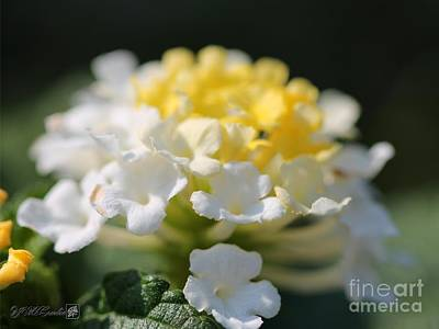 Photograph - Lantana Named Little Lucky Lemon Cream by J McCombie