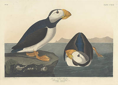 Painting - Large-billed Puffin by John James Audubon