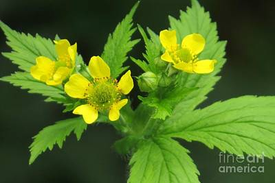 Photograph - Large-leafed Avens by Frank Townsley