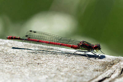 Photograph - Large Red Damselfly by Liz Alderdice