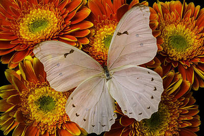 Gerbera Daisy Photograph - Large White Butterfly by Garry Gay