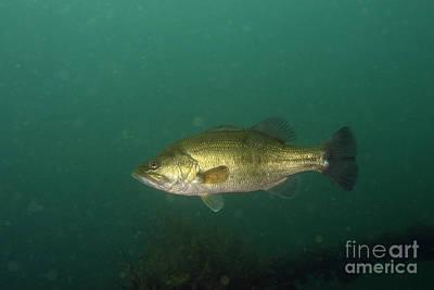 Largemouth Photograph - Largemouth Bass by Ted Kinsman