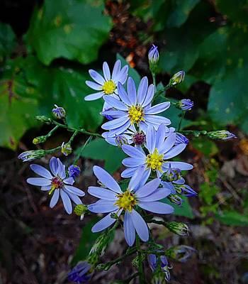 Photograph - Late Purple Asters by Joe Duket