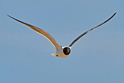 Photograph - Laughing Gull by Ken Stampfer