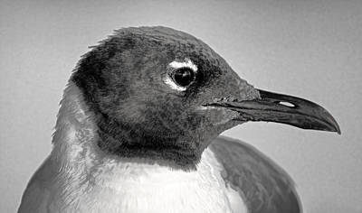 Bird Photograph - Laughing Gull One  by HH Photography of Florida