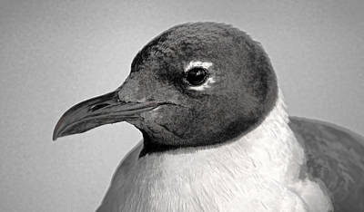 Photograph - Laughing Gull Two by HH Photography of Florida