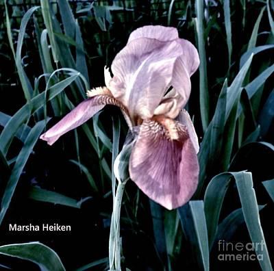Photograph - Lavendar Iris by Marsha Heiken