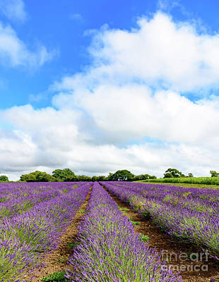 Photograph - Lavender Field by Colin Rayner