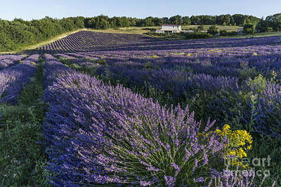 Photograph - Lavender Field Provence  by Juergen Held