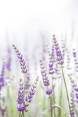 Lavender Flower In The Garden,park,backyard,meadow Blossom In Th Art Print by Jingjits Photography