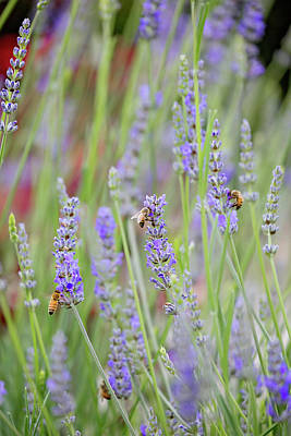 Photograph - Lavender by Jessica Nguyen
