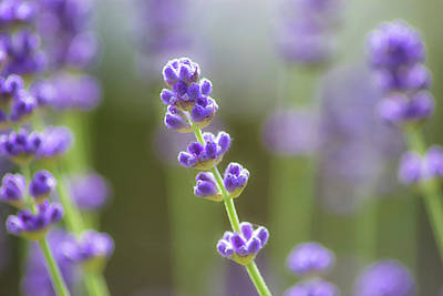 Lavender Flowers Photograph - Lavender by Martin Newman