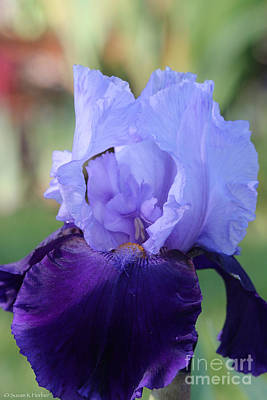 Photograph - Lavender On Violet by Susan Herber