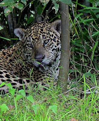 Photograph - Lazy Jaguar by Nareeta Martin