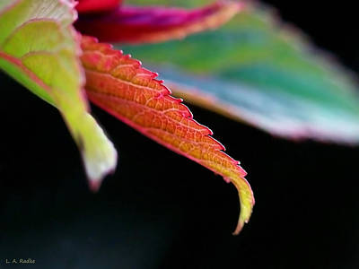 Photograph - Leaf Study Iv by Lauren Radke
