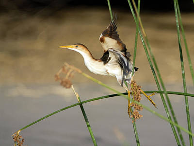 Photograph - Least Bittern 3868 by Tam Ryan