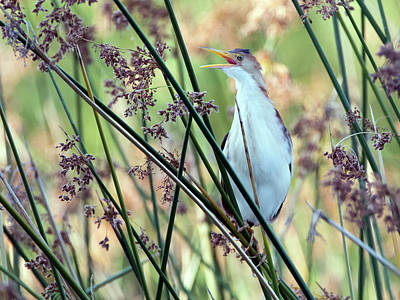 Photograph - Least Bittern 3896 by Tam Ryan