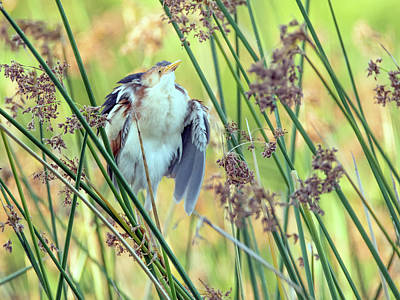Photograph - Least Bittern Fluffing Up 3877 by Tam Ryan