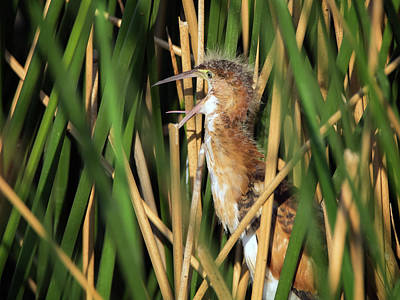 Photograph - Least Bittern Juvenile 3859 by Tam Ryan