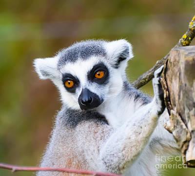 Photograph - Lemur by Colin Rayner