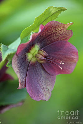 Photograph - Lenten Rose by Susan Herber